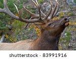Bull Elk  Cervus Canadensis  I...