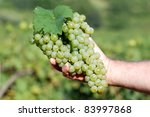 White grapes in male hand - stock photo