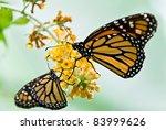 Two Monarch Butterflies In...