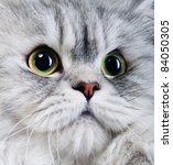 persian gray cat portrait with... | Shutterstock . vector #84050305
