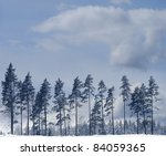 Row of pine trees in winter with blue sky - stock photo