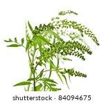 Ragweed Plant In Allergy Seaso...