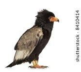 bateleur  10 years  terathopius ... | Shutterstock . vector #8410414