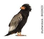 bateleur  10 years  terathopius ... | Shutterstock . vector #8410423
