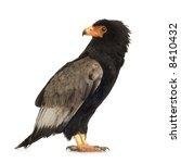 bateleur  10 years  terathopius ... | Shutterstock . vector #8410432
