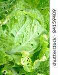 Chinese Cabbage  Bok Choy ...