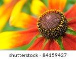 Coneflower  Rudbeckia  Close Up
