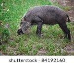 Bearded Pig In Borneo Bako Par...