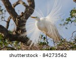 Great Egret Displaying On Nest