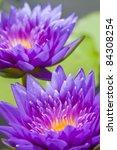 2 Purple Lotus In Pool