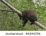 Hanging Around.  Young brown colored black bear (Ursus Amricanus) rests in the safety of a tree while looking at the ground below.  Young bears climb trees for safety. - stock photo