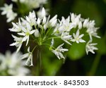 Small photo of The exquisite white flowers of the Wild Garlic (Allium canadense) laden with dew growing by a waterfall. Sometimes pink, this is a pure white strain.