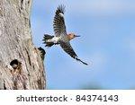 Woodpecker In Flight Leaving...