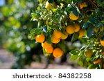 Orange Trees With Fruits On...