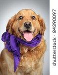 Golden Retriever Dog In Violet...