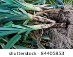 freshly dug out leeks with roots   Shutterstock . vector #84405853