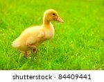 Small Duckling Outdoor Running...