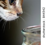 bengal cat searching for a meal | Shutterstock . vector #844542