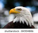 Bald Headed Eagle  Close Up...