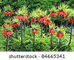 Orange Crown Imperial Flowers ...