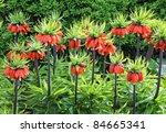 Orange Crown Imperial Flowers ...