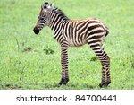Stock photo baby zebra against green grass background 84700441