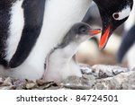 Stock photo penguin in its nest to protect her cub antarctica 84724501