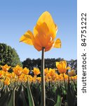 yellow tulip bottom view | Shutterstock . vector #84751222