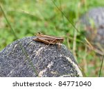 Brown grasshopper on a rock - stock photo
