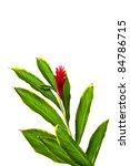 Small photo of A Beautiful Tropical Red Ginger (Alpinia Purpurata) Flower2.