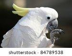 Sulphur Crested Cockatoo Bird...