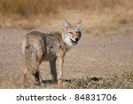 a wild coyote looking back at... | Shutterstock . vector #84831706