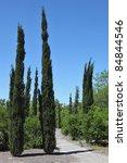 Slender Cypress Trees Along Th...