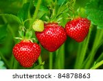 Strawberry Bush Growing In The...