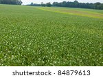 harvest of peas growing on the...   Shutterstock . vector #84879613
