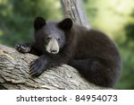 Bear Claws.  The claws on this young black bear (Ursus Americanus) cub's front paws are clearly visible as she relaxes on a sturdy tree limb. - stock photo
