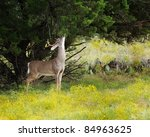 White Tailed Deer Stands While...