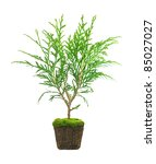 Thuja With Dirt Isolated On...