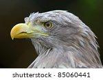 Close Up Of Eagle Head. Eagle