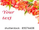 beautiful flowers of red on a white background Alstroemeria - stock photo