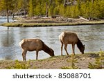 deers at yellowstone national... | Shutterstock . vector #85088701