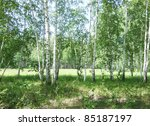 beauty birch forest - stock photo