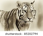 amur tiger  panthera tigris... | Shutterstock . vector #85202794