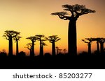 sunset and baobabs trees | Shutterstock . vector #85203277