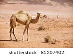 Group Of Wild Camels In The...