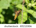 Broad Bodied Chaser  Libellula...