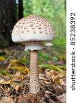 The Parasol Mushroom ...