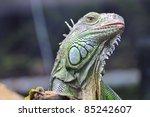 Iguana  Dusit Zoo  Bangkok ...