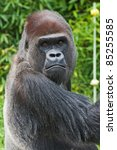 Western Lowland Gorilla - stock photo