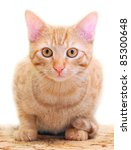 Stock photo the domestic cat felis silvestris f catus close up with shallow dof 85300648